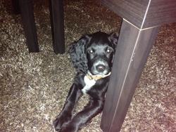 Charly, chien Setter irlandais
