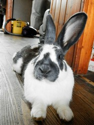 Charly, rongeur Lapin
