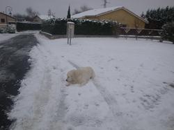 Charly, chien Golden Retriever