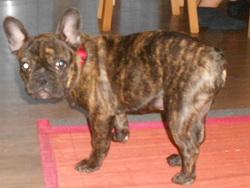 Charly, chien Bouledogue français