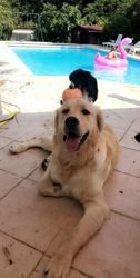 Charly, chien Golden Retriever