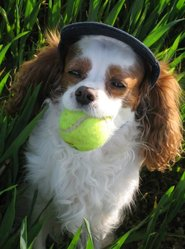 Charly, chien Cavalier King Charles Spaniel