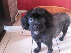 Charly, chien Caniche