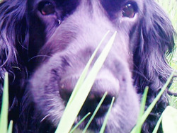 Charly, chien Cocker anglais