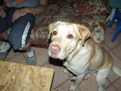 Charly, chien Labrador Retriever