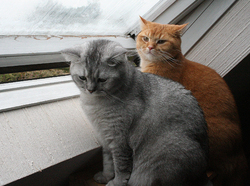 Charly Et Citizen, chat British Shorthair