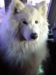Charlye, chien Samoyède
