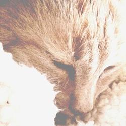 Charou, chat Européen