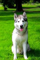 Chasta, chien Malamute de l'Alaska
