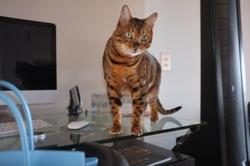 Chat, chat Bengal