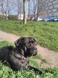 Joych, chien Cane Corso