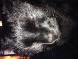 Chat Noir, chat