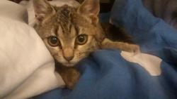 Châtaigne, chat Bengal