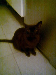Chataigne, chat Chartreux