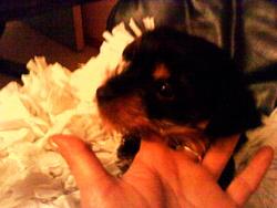 Chataîgne, chien Yorkshire Terrier