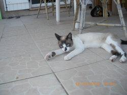 Chataigne, chat Siamois