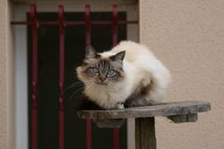 Chataigne, chat Birman