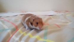 Châtaignes, rongeur Hamster