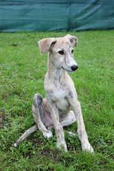 Chatin, chien Lévrier espagnol