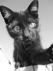 Pantera, chat Gouttière