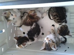 Chatons, chat Européen