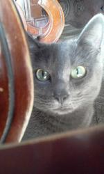 Chatouille, chat Chartreux