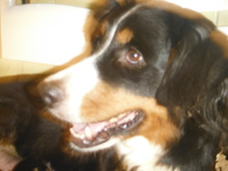Chatouille, chien Bouvier bernois