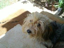 Chaussette, chien Affenpinscher