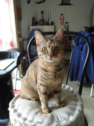 Chausette, chat Mau Egyptien