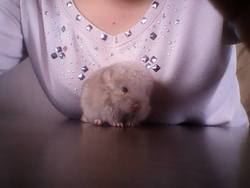 Chausette, rongeur Chinchilla