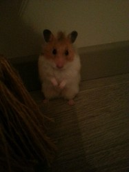 Chaussette, rongeur Hamster