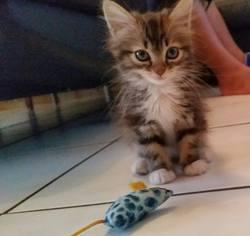 Chaussette , chat Européen