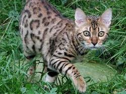 Chaussette , chat Bengal