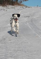 Chaussette, chien Dalmatien
