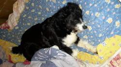 Chaussette, chien
