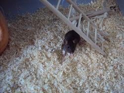 Chaussette, rongeur Rat