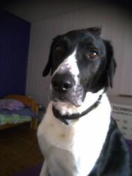 Chaussette, chien Border Collie