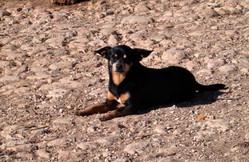 Chaussette, chien Pinscher