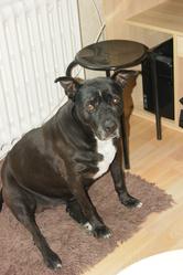 Chavès, chien American Staffordshire Terrier
