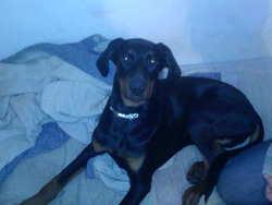 Chaya, chien Dobermann