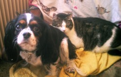 Chayna, chien Cavalier King Charles Spaniel