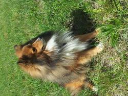 Chayton, chien Berger des Shetland
