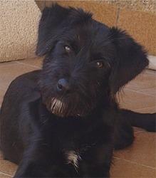 Chazaloup, chien