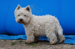 Cheaper White, chien West Highland White Terrier