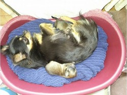 Cheche, chien Chihuahua