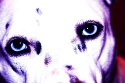 Cheissy, chien Husky sibérien