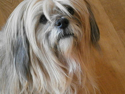 Chelly, chien Lhassa Apso
