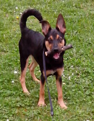 Chelsea, chien Berger allemand