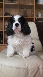 Chelsea, chien Cavalier King Charles Spaniel