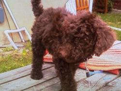 Chelsea, chien Caniche